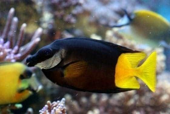 Fiji Foxface Fish